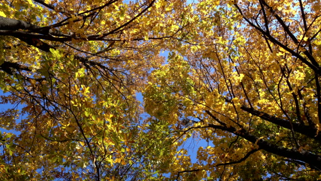 rotating-maple-trees-with-falling-leaves-high-angle-view