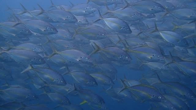 Horde-von-Makrelen-