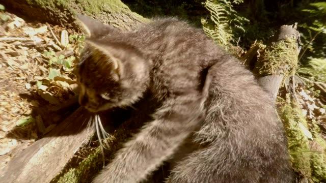 graue-Wald-Wildkätzchen-spielt-in-der-hellen-Sonne-unter-einem-Baum-und-Stein,-close-up,-eine-kleine-Katze
