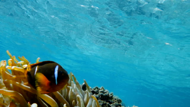 Clownfish-living-in-their-sea-anemone