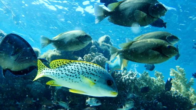 Red-sea-fish