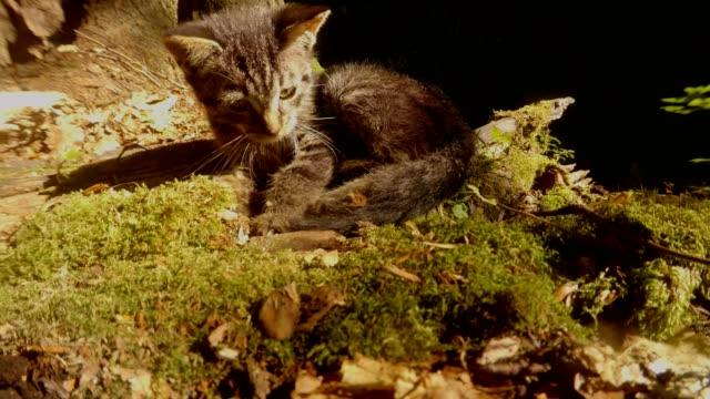 graue-Wald-Wildkätzchen-spielen-mit-einem-Schweif-in-heller-Sonne-unter-einem-Baum-Nahaufnahme