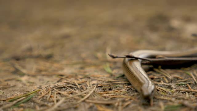 Limbless-lizard-look-like-a-snake-Slowmotion-180-fps-close-up-shot