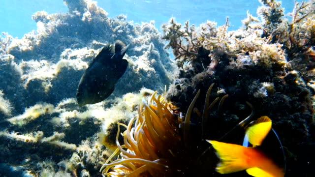El-pez-payaso-vive-en-la-anémona-de-mar