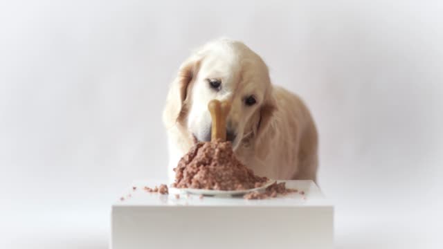 pet-life-at-home-funny-video-from-the-birthday-of-the-dog---beautiful-golden-retriever-eating-meat-cake