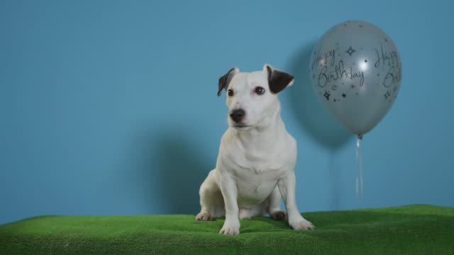 jack-russell-terrier-dog-with-happy-birthday-balloon-on-turquoise-background
