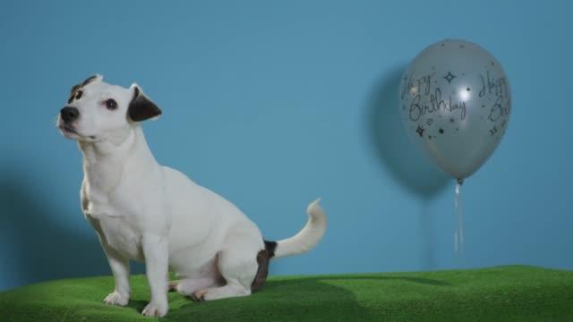 gato-perro-terrier-de-russell-con-globo-de-cumpleaños-sobre-fondo-turquesa