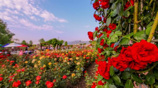 Rote-und-gelbe-rose-Festival-Zeitraffer-in-Korea
