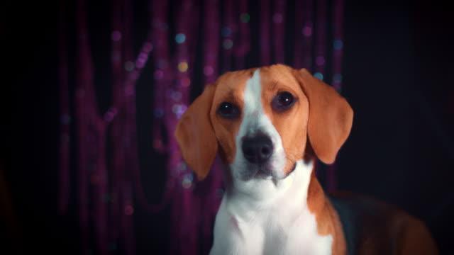 4-k-cumpleaños-Beagle-perro-posando-en-la-fiesta