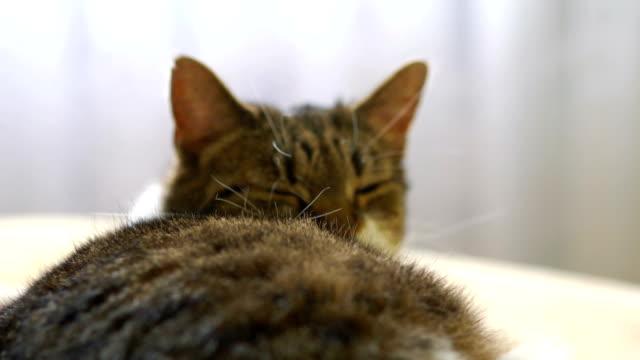 Gato-relajado-en-el-sofá-en-4-k-lenta-60fps