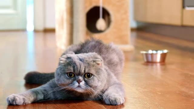 Scottish-Fold-cat-indoors