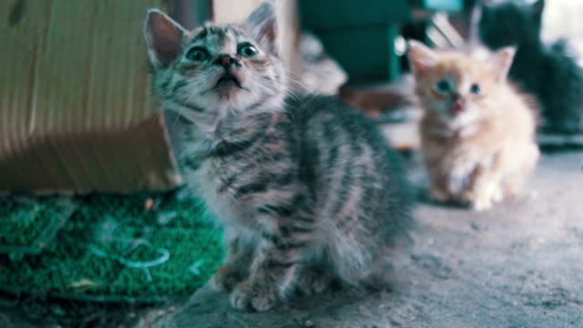 Little-Gray-and-White-Stray-Kitten-Looks-into-the-Camera