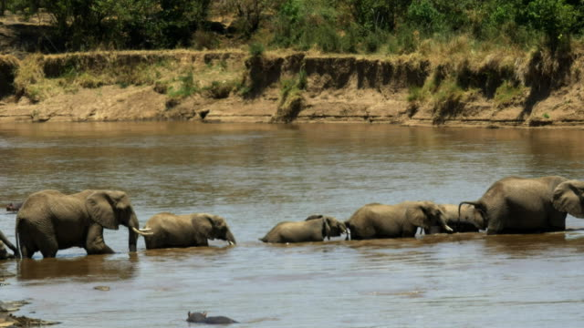 herd-of-elephants-walking-across-the-mara-river