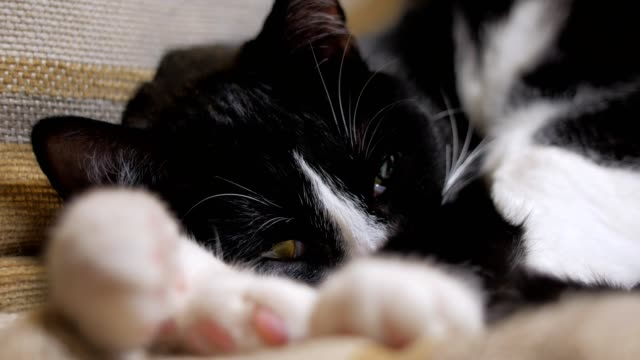 close-up-of-cute-black-and-white-cat-lying-on-a-chair-in-room