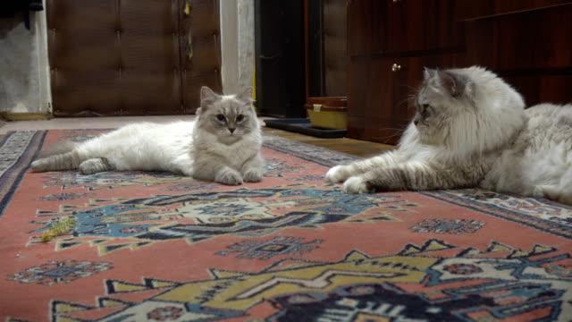 juego-de-amor-y-noviazgo-entre-dos-gatos-de-siberiano-color-point-en-un-apartamento-de-la-ciudad