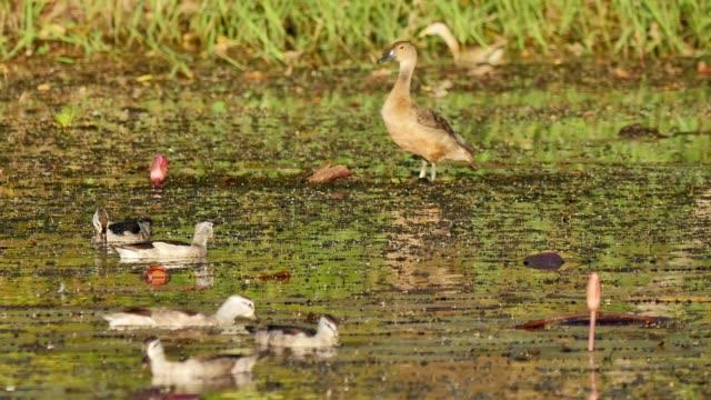 Duck-on-wetland-