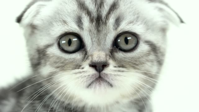 Folded-kitten-looks-into-the-distance-White-background-Close-up