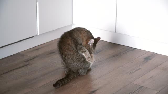 Laminado-El-gato-se-encuentra-en-el-piso-laminado-en-el-piso