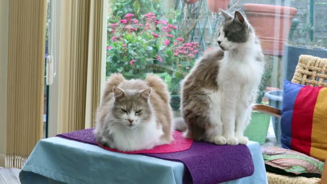 Dos-hermosos-gatos-domésticos-en-el-hogar