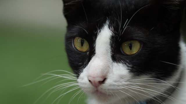 Close-up-of-black-and-white-colour-cat-