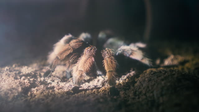 Brown-spider-on-ground-with-lighting-from-searching-in-night
