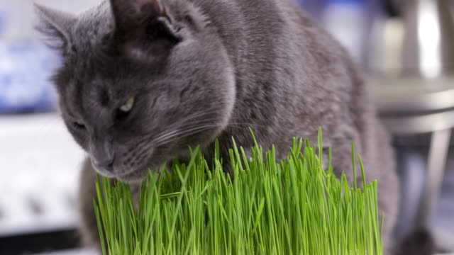 Domestic-gray-cat-eats-freshly-grown-green-grass-at-home