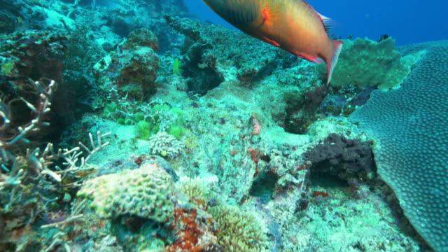 Kamerafahrt-von-einer-Wange-gesäumten-Lippfische-am-Rainbow-Reef-in-Fidschi