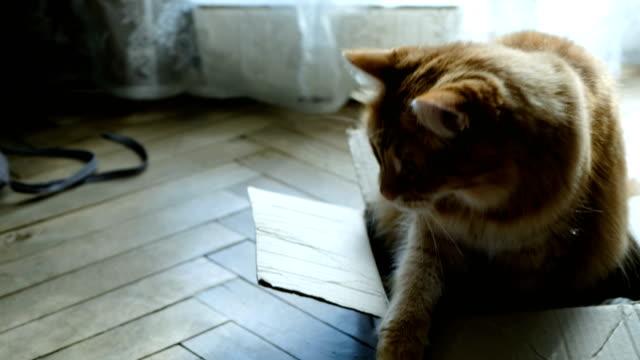 Gato-rojo-guarda-y-protege-su-caja
