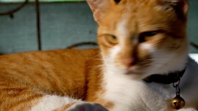 Gato-Thai-amarillo-en-tabla