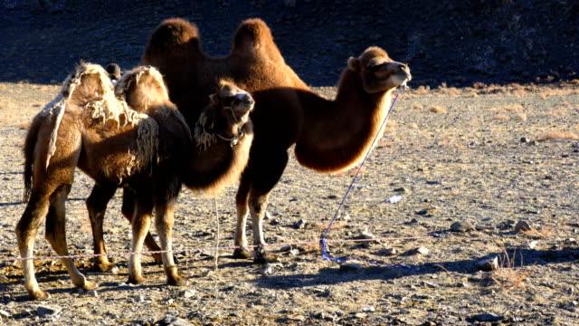 Camello-bactriano-y-su-pie-de-cría