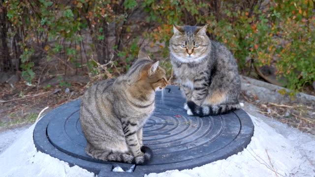 Dos-gatos-grises-sin-hogar-están-sentados-en-la-calle