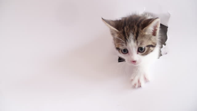 Tabby-kitten-with-white-paws-on-a-white-background