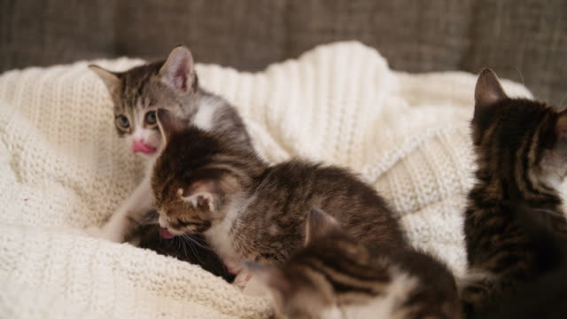 Kitten-licking-it-s-lips-on-a-couch-with-cat-siblings