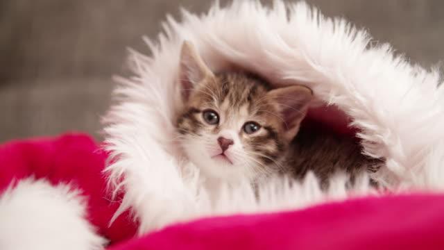 Atigrado-linda-mascota-en-santa-sombrero-mirando-a-usted