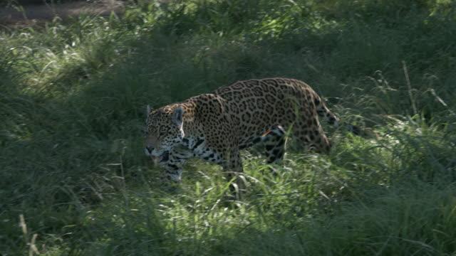 Jaguar-zu-Fuß-und-auf-der-Suche