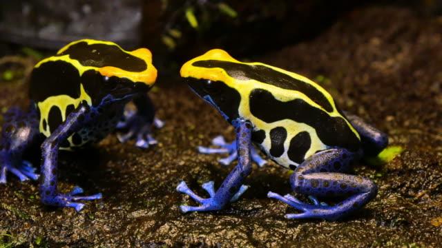 Pareja-de-rana-de-dardo-venenoso-azul-y-amarillo