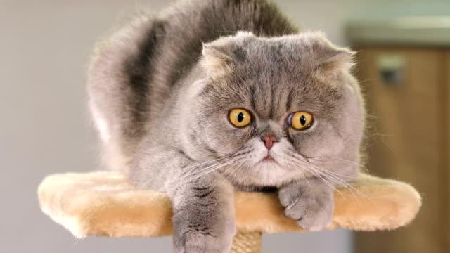 Purebred-gray-Scottish-Fold-cat