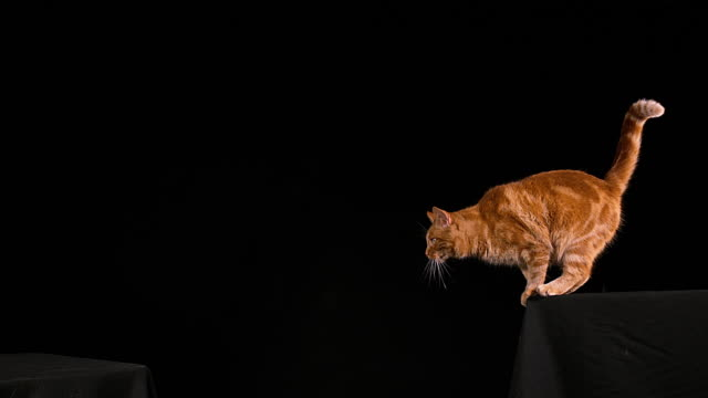 Red-Tabby-Domestic-Cat-Adult-Leaping-against-Black-Background-Slow-motion-4K