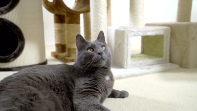 Gray-cat-enjoying-in-his-warm-and-comfortable-new-home-lying-on-a-soft-carpet