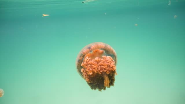 Big-jellyfish-in-the-water-Bucas-Grande-Island-Sohoton-Cove-Philippines
