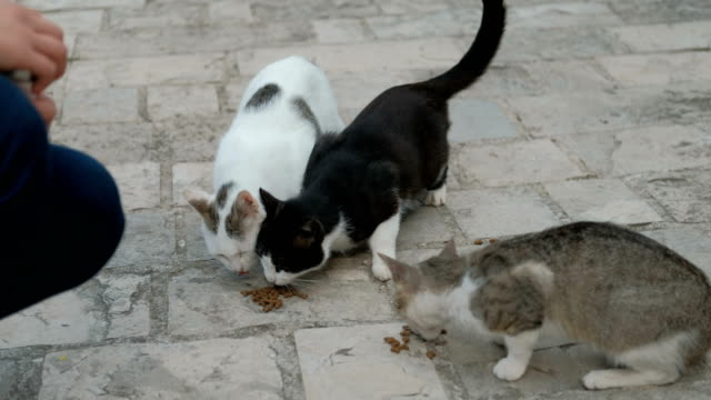 Three-shorthair-cats-eat-dry-food-outdoors-in-summer-day-Adult-pussycat