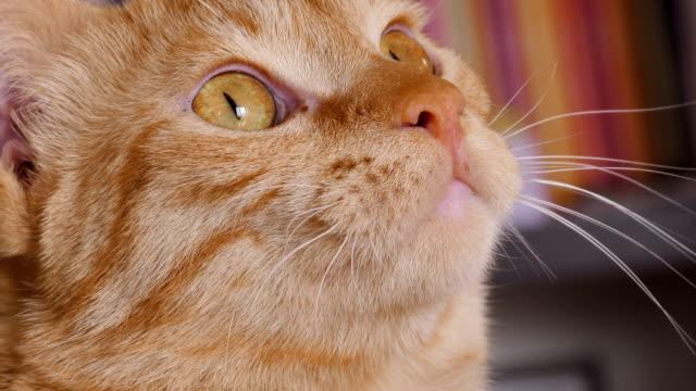 Gato-lamiendo-labios