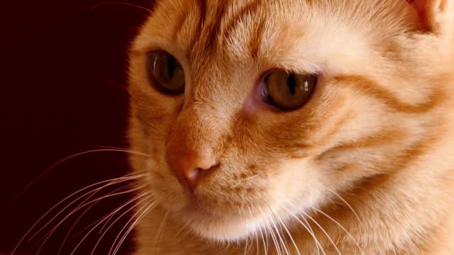 Fondo-rojo-del-gato