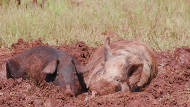 Free-range-pigs-wallowing-in-the-mud