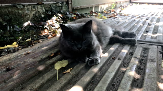 gato-gris-mullido-se-basa-en-la-calle-a-la-sombra