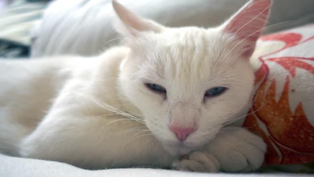 Un-gato-blanco-está-despertando-uf-de-siesta