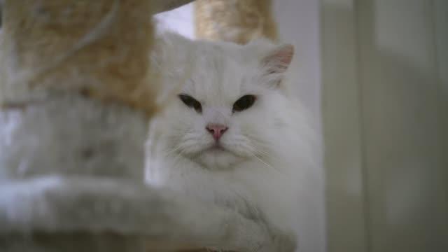 hermoso-gato-persa-blanco-jugando-y-mirando-a-la-cámara-4k