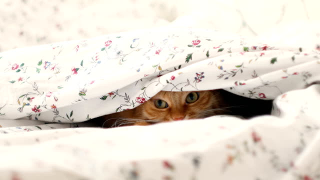 Cute-ginger-cat-lying-in-bed-hiding-from-baby-boy-Men-raises-the-blanket