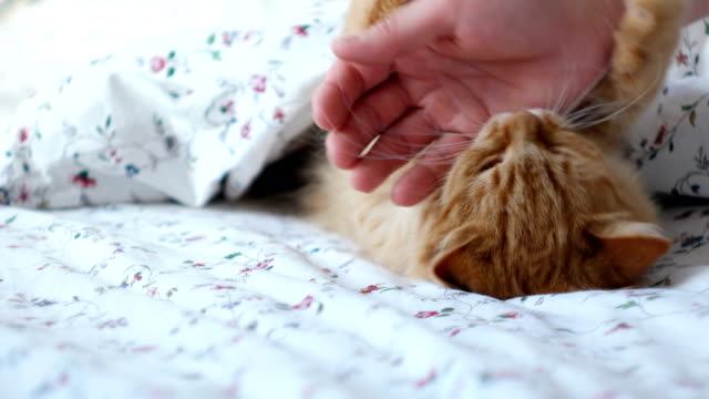 Cute-ginger-cat-lying-in-bed-Men-strokes-fluffy-pet-it-starting-to-play-and-bite