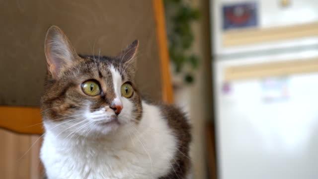 Gato-blanco-rayas-se-encuentra-en-una-silla-en-casa